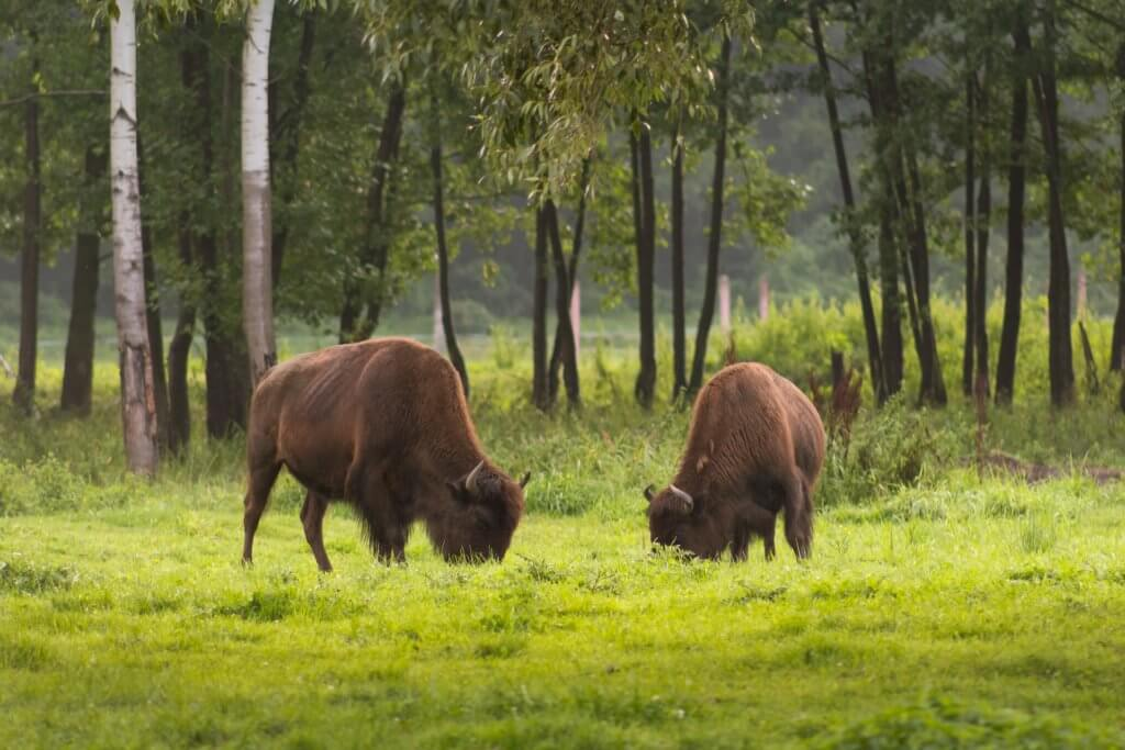 Best things to do in the Black Hills with Kids, featured by top US family travel blog, Travel with a Plan: image of Black Hills-bison